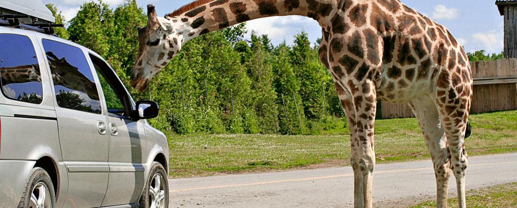 על חיות שועטות ותאונות דרכים